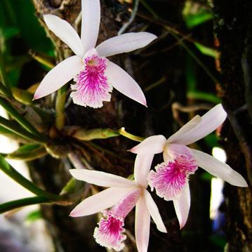 Orquidea Epidendrum