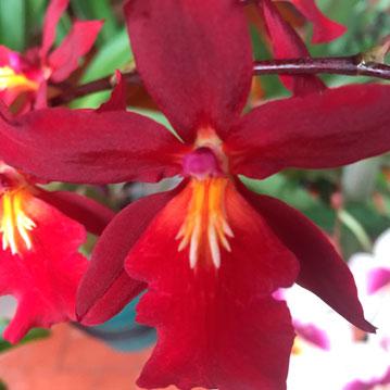 Orquidea Odontoglossum