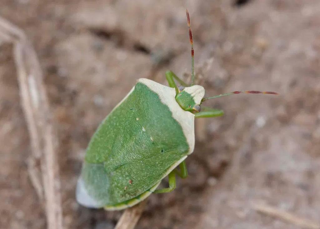 Chinche Verde