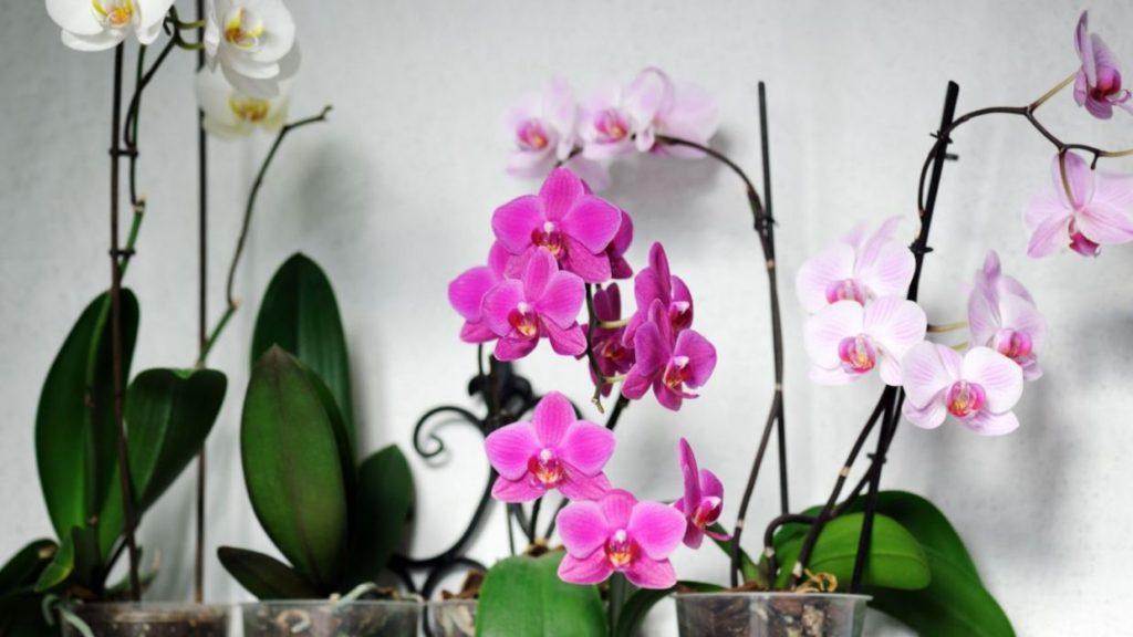 El mejor sustrato para orquideas phalaenopsis