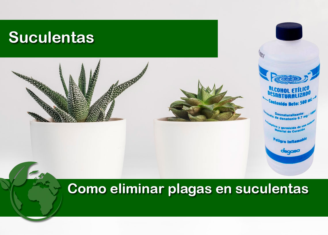 Como eliminar plagas en plantas suculentas