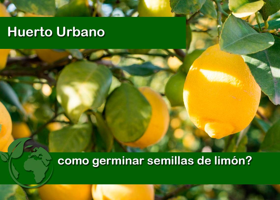 como germinar semillas de limon