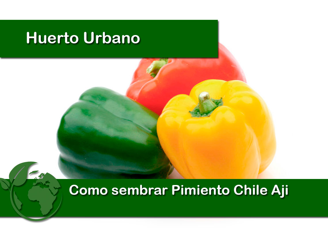 Como sembrar Pimiento Chile Aji