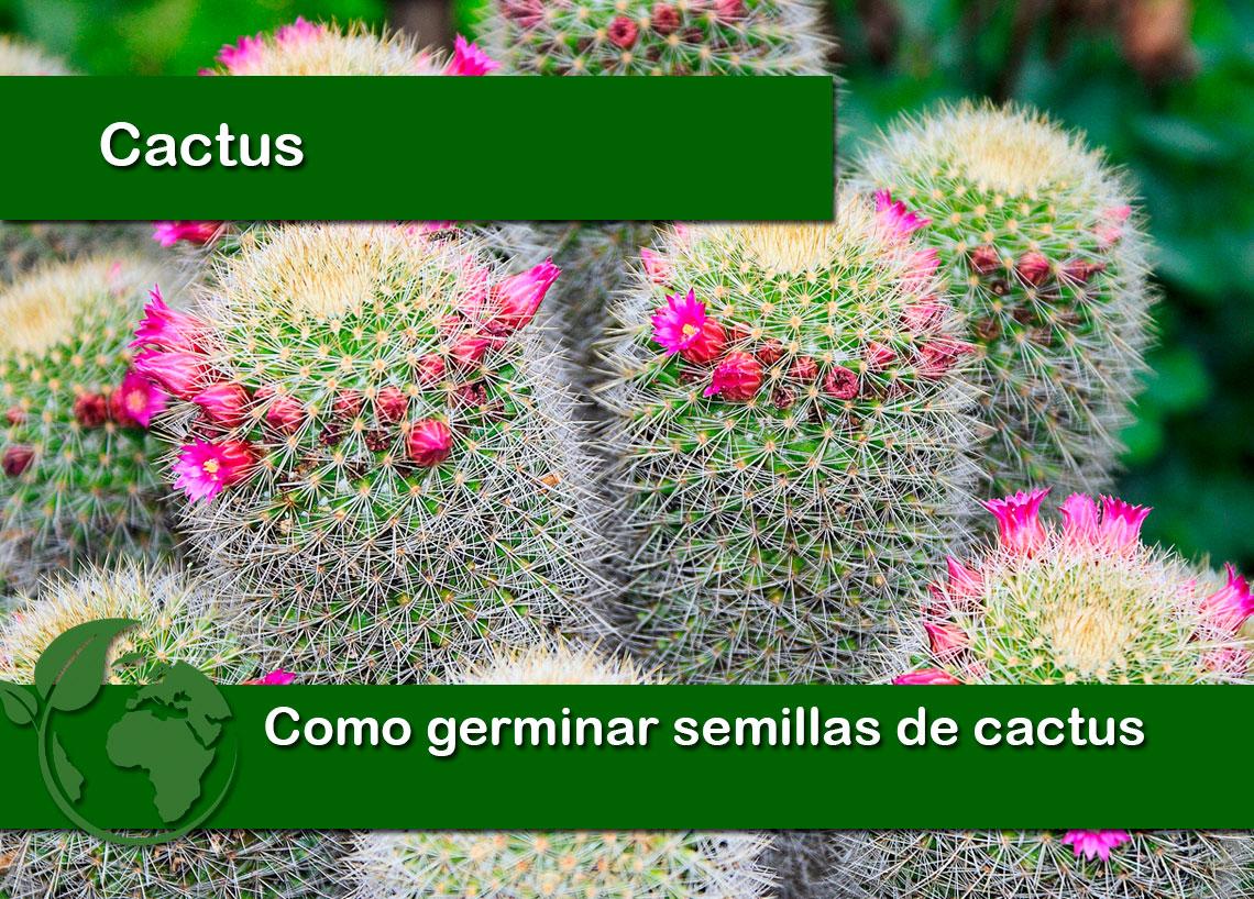 Como germinar semillas de cactus