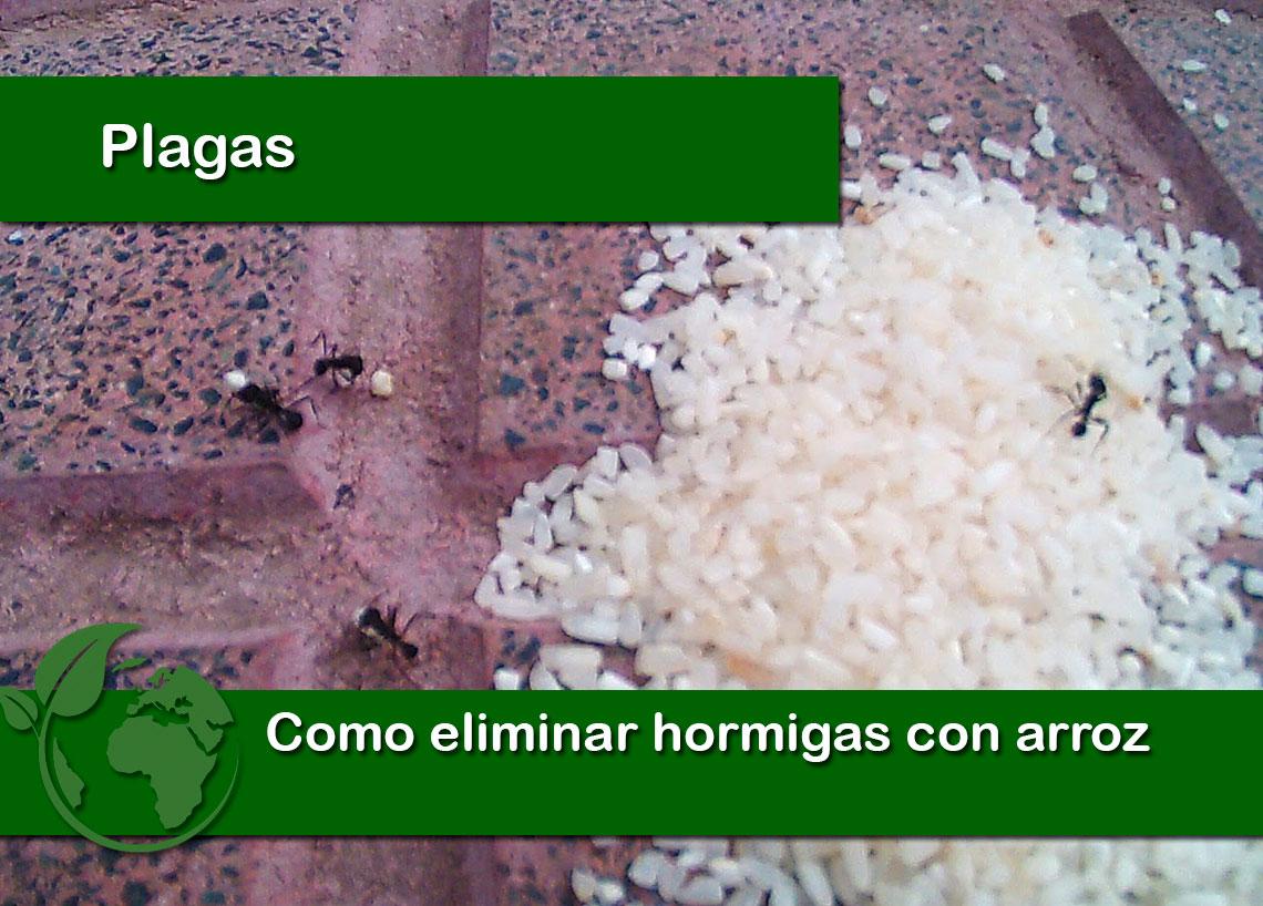 Como eliminar hormigas con arroz