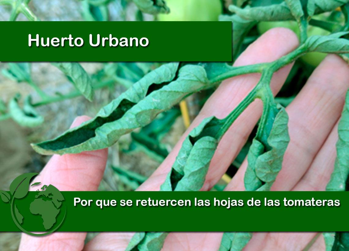 Por que se retuercen las hojas de las tomateras