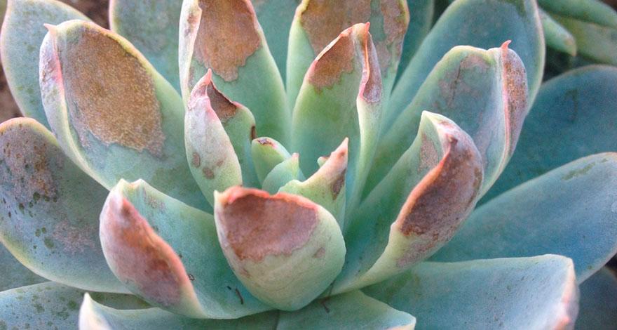 Como cuidar las suculentas del sol