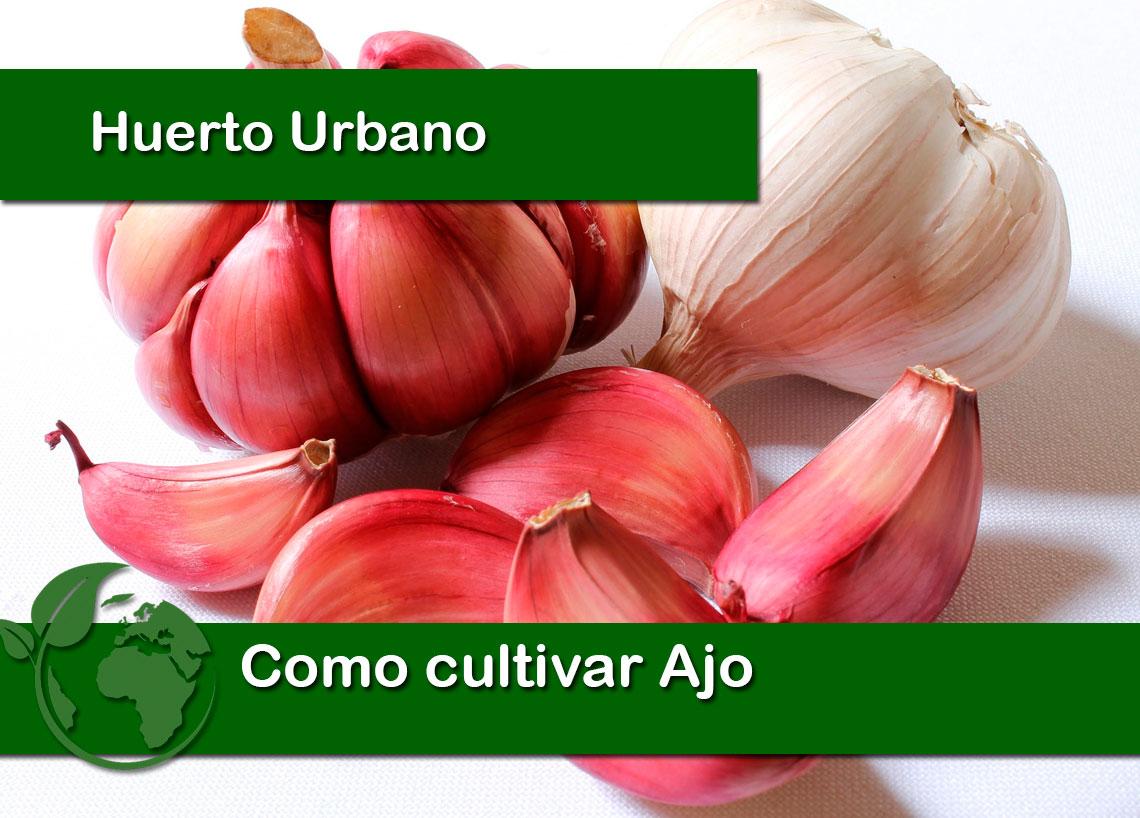 Como cultivar ajo