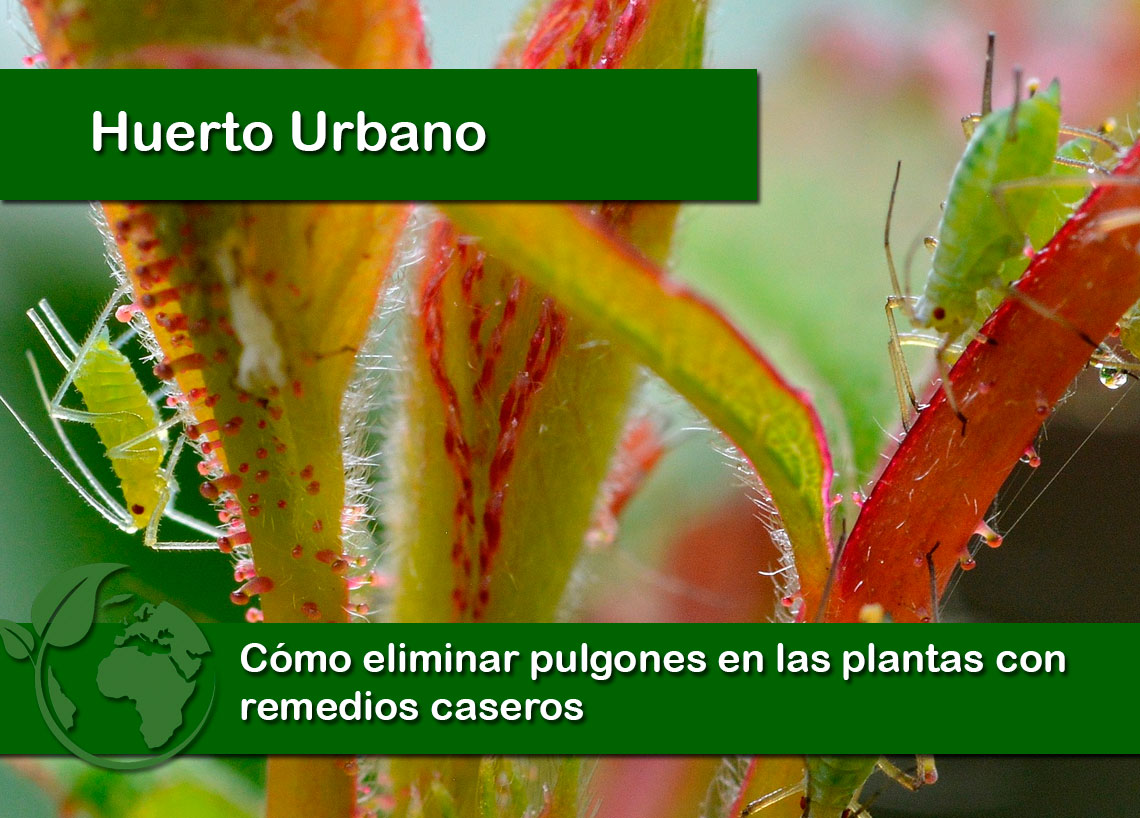 Cómo eliminar pulgones en las plantas con remedios caseros