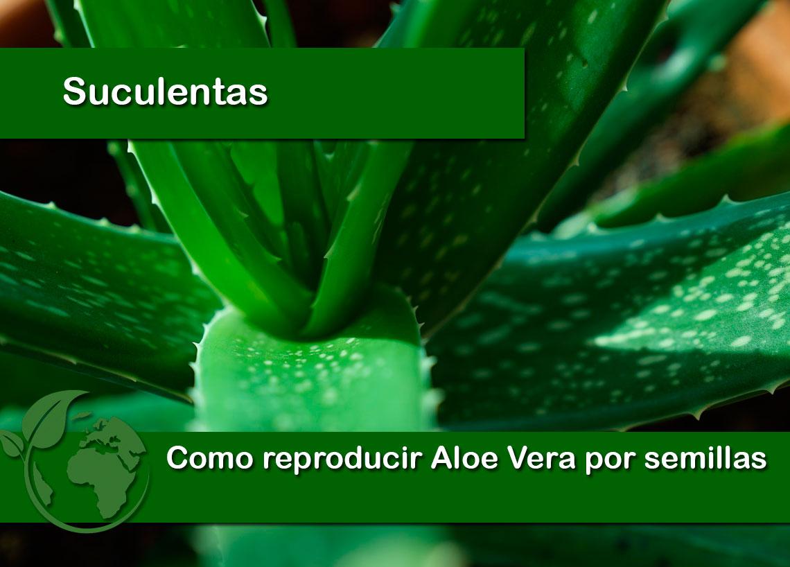 Como reproducir aloe vera por semillas