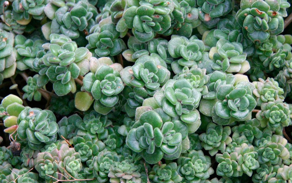 Suculenta monocárpica Aichryson