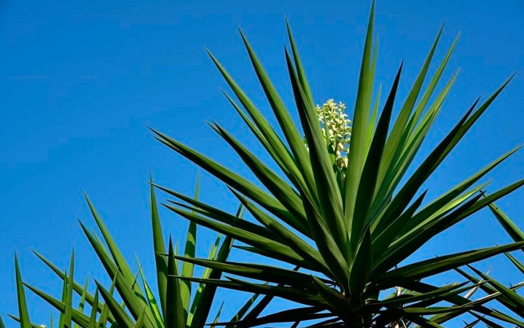 Suculenta monocárpica Yuca