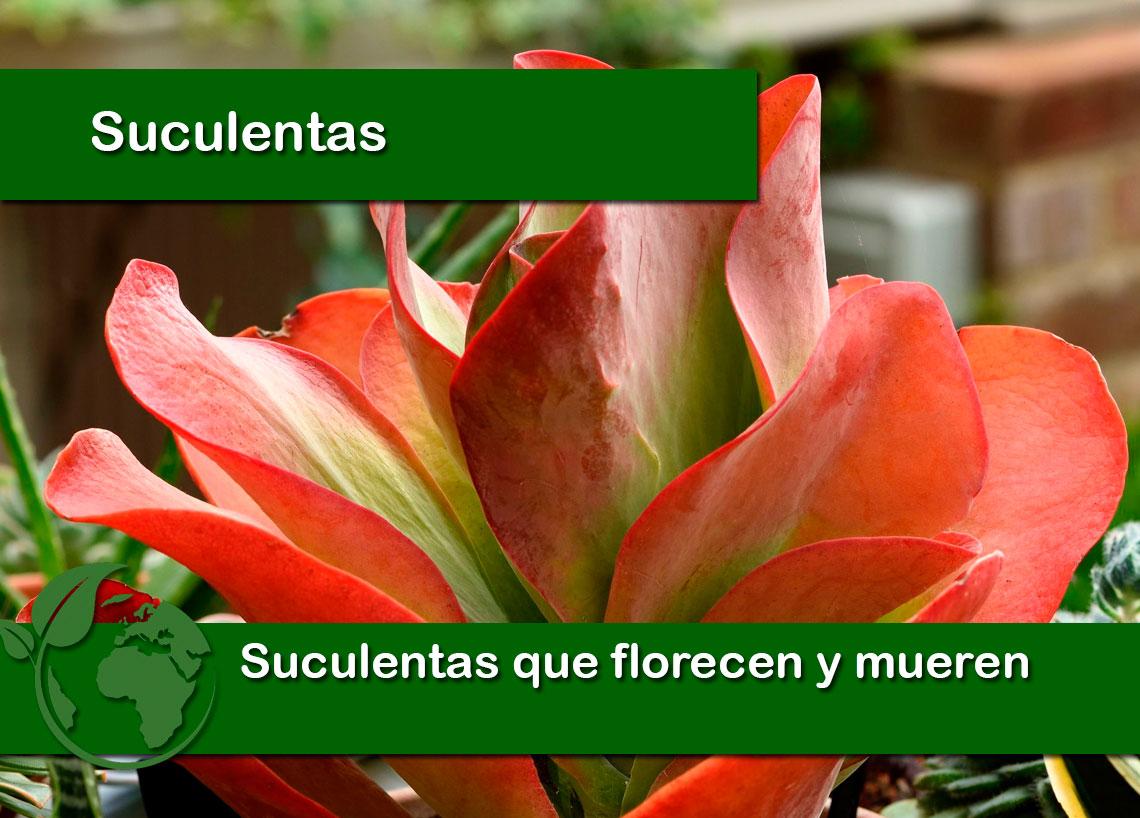 Suculentas que florecen y mueren