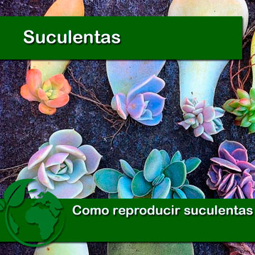 Como reproducir suculentas por hojas