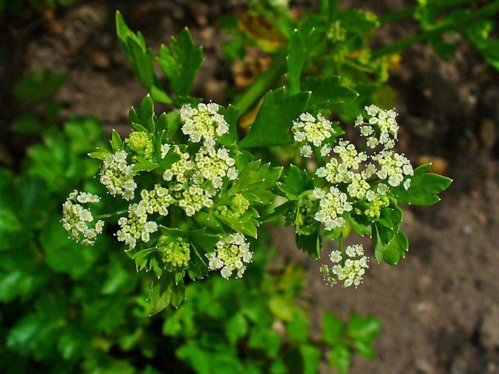 flores del apio