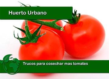 Trucos para cosechar mas tomates