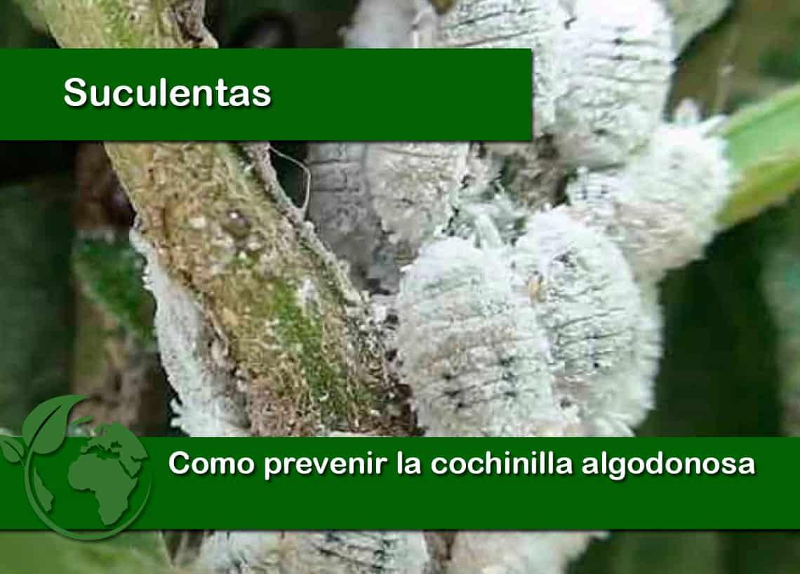 Como prevenir la cochinilla algodonosa