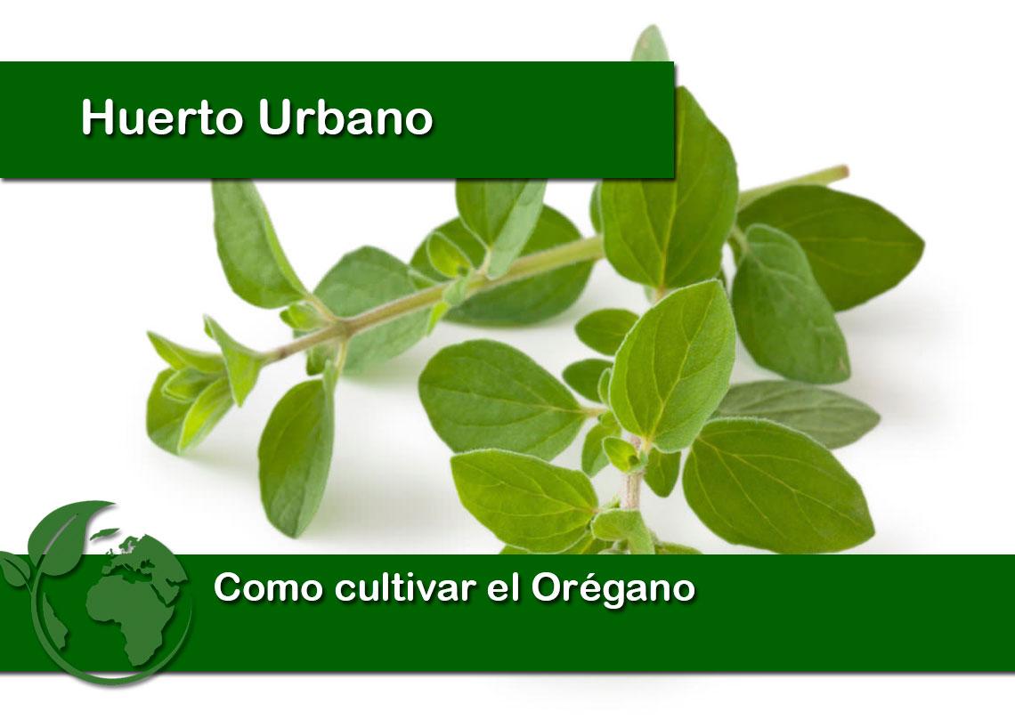 Como cultivar el orégano