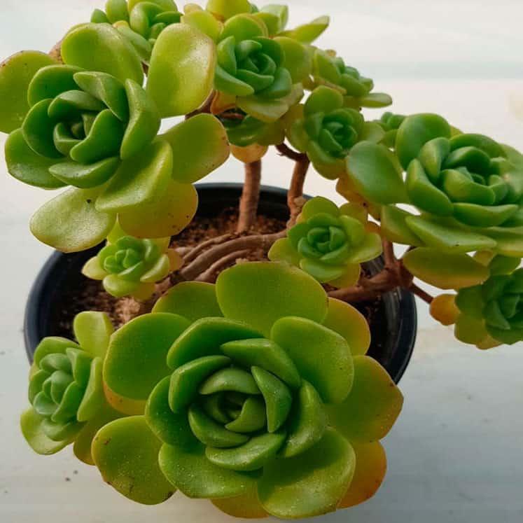 Aeonium Lily Pad